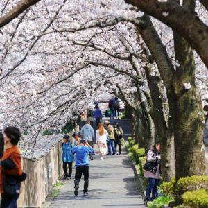 町田恩田川の桜&お花見情報2020!開花状況、さくらまつりなどをご紹介!の写真
