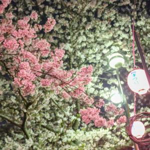 恩田川の桜ライトアップの写真