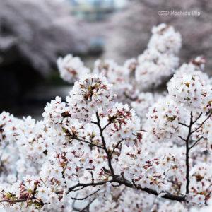 町田尾根緑道の桜 町田の公園に並ぶお花見スポット 桜祭りや駐車場、開花状況など紹介の写真