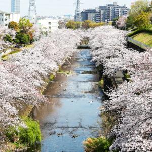 町田の桜 お花見ができる公園5選!おすすめのスポットを編集部が激選の写真