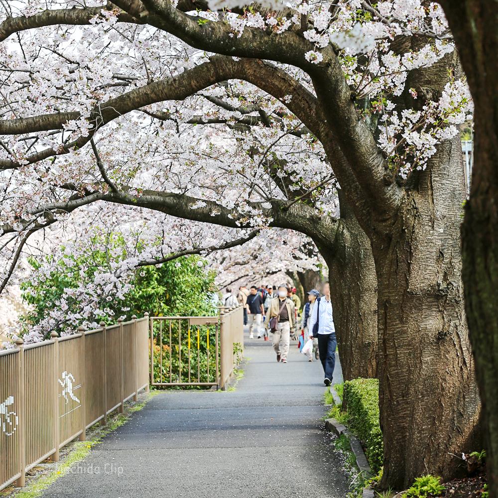 恩田川の桜の写真