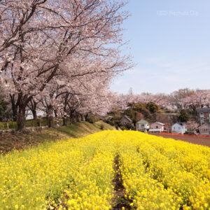 町田尾根緑道の桜2021 町田の公園に並ぶお花見スポット 桜祭りや駐車場、開花状況など紹介の写真